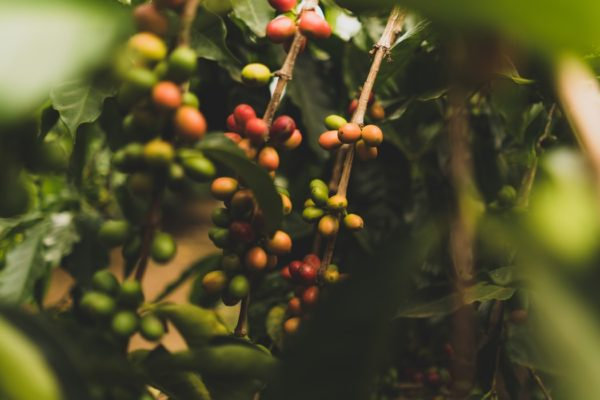Destinations in India - Coffee Plantation in Coorg