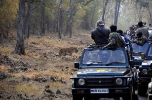 Open jeep safari ride, Tadoba National Park, Maharashtra