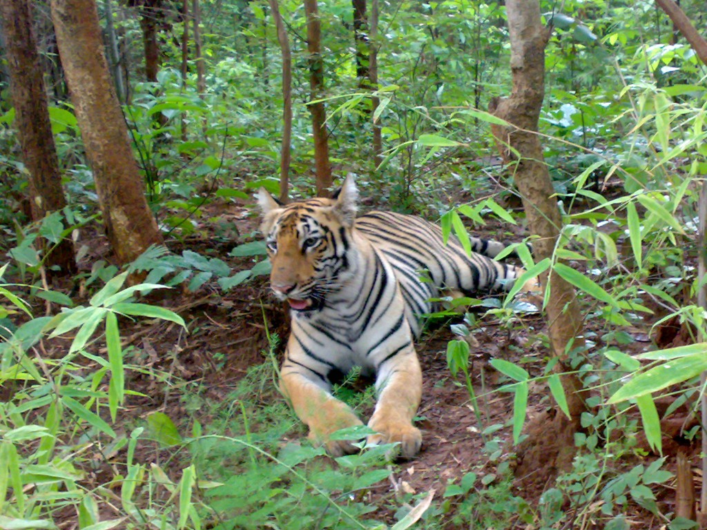 Tiger Spotted on a safari in Tadoba
