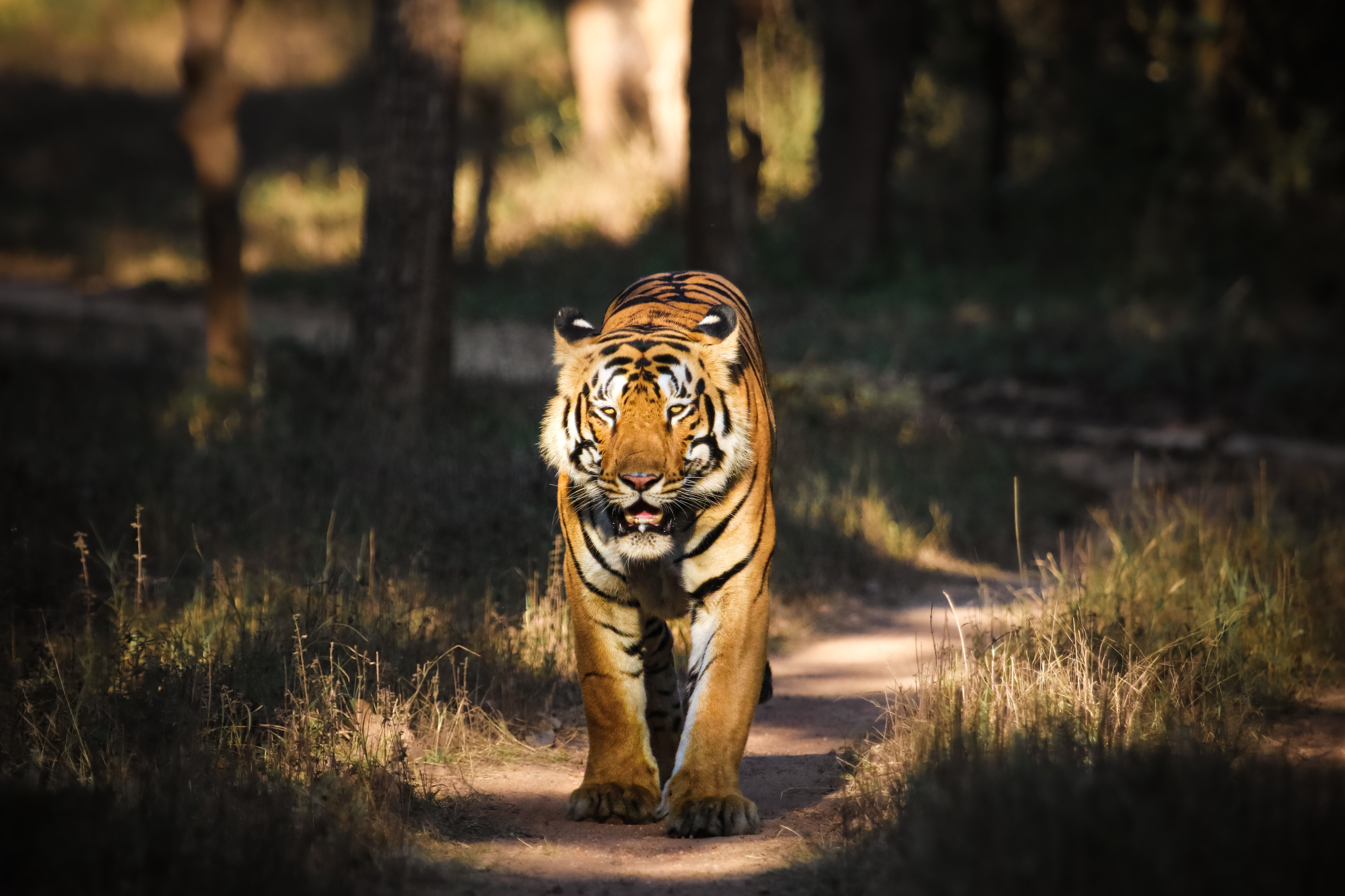 tiger spotted in tadoba national park