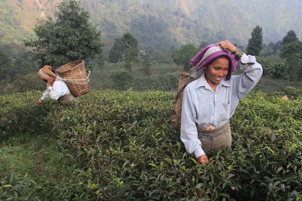 darjeeling, flights to india, northeast, tea gardens, tea