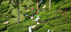 Munnar in Südindien