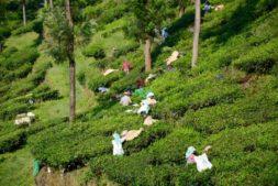 Teeplantagen Munnar