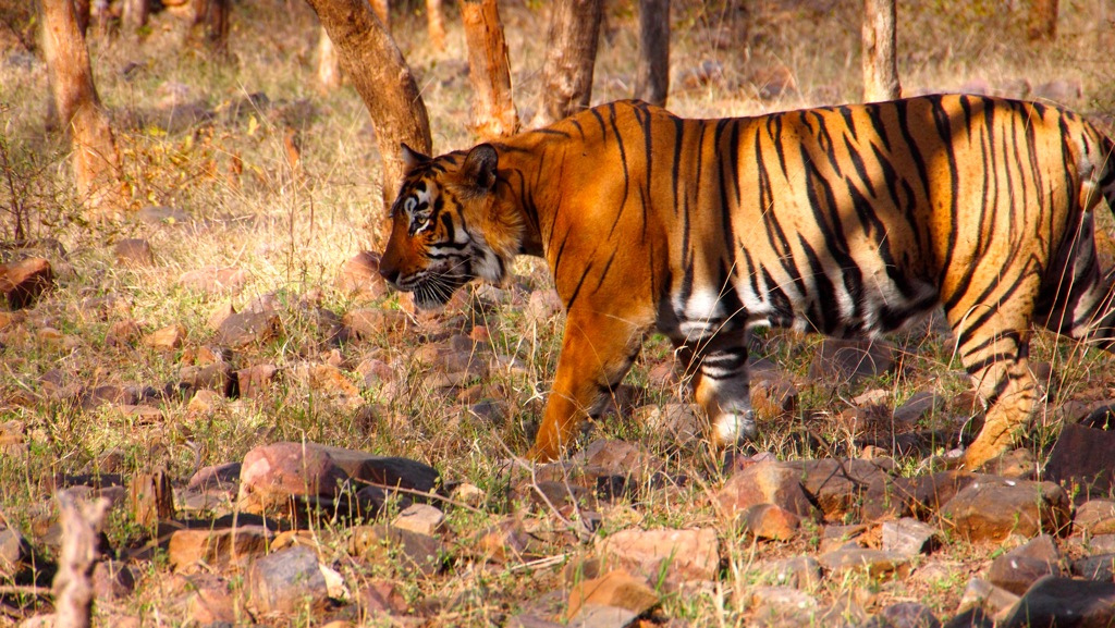 Tigersafaris im Ranthambore Nationalpark
