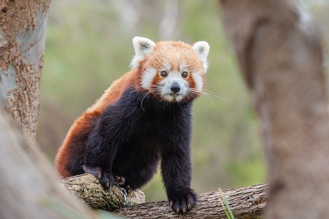 adorable and cute Panda, National Parks in India