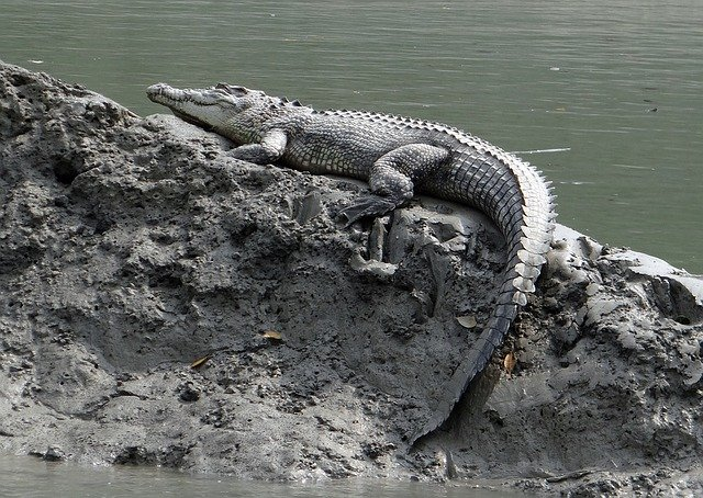 The mugger crocodile