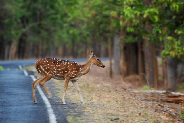 spotted buck, wildlife photography in India