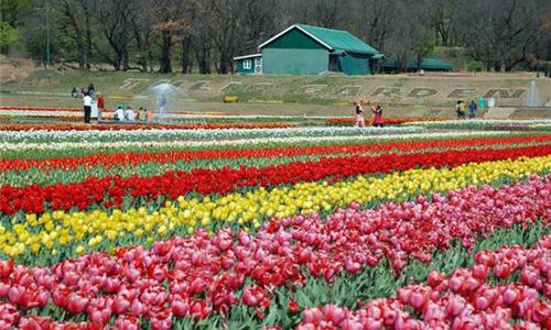 Your Perfect Bollywood Summer-The Tulip Festival of Srinagar