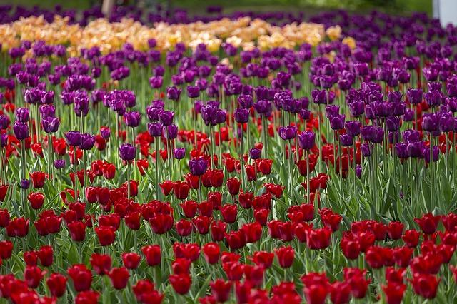 Indira Gandhi Memorial Tulip Garden in Srinagar