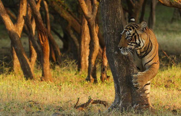 Tigers in India, National Parks, Indias wildlife sancturies