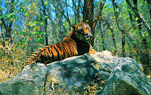 Indian_Tiger_Wayanad@wikipedia