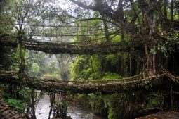 wurzelbrücke, meghalaya, nordosten indiens
