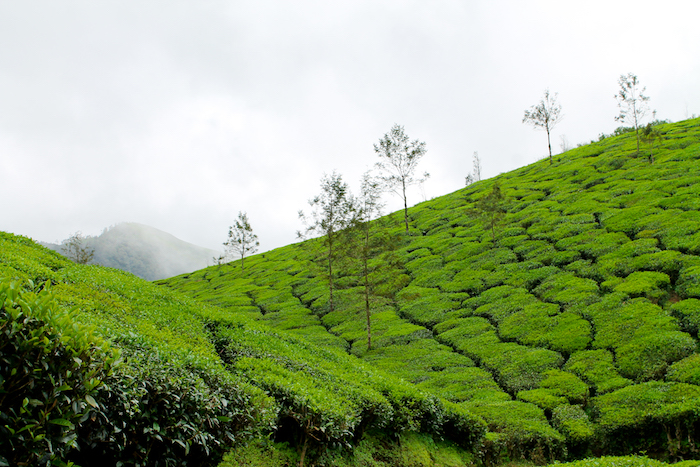 munnar, best time to visit India, kerala, green, tea plantations