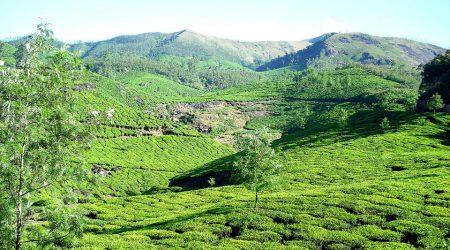 Plantacje herbaty w Munnar, Kerala, Indie południowe