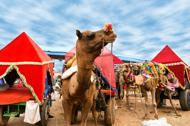 the grand camel fair in Pushkar