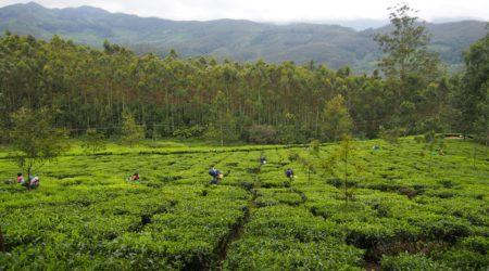 tea-plantation-1910714