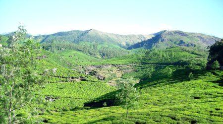 Kerala Munnar tea plantation