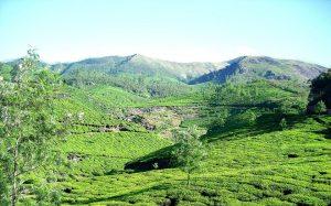 Teefelder in Munnar