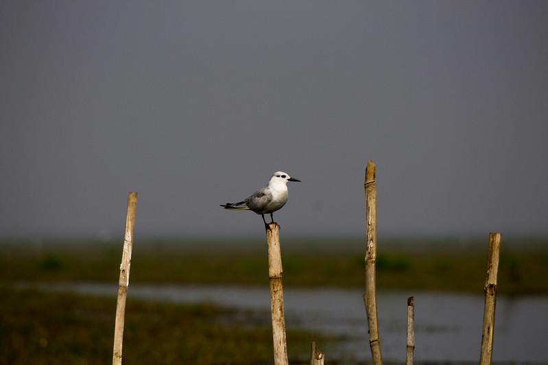 Migratory birds at chilka lake orissa