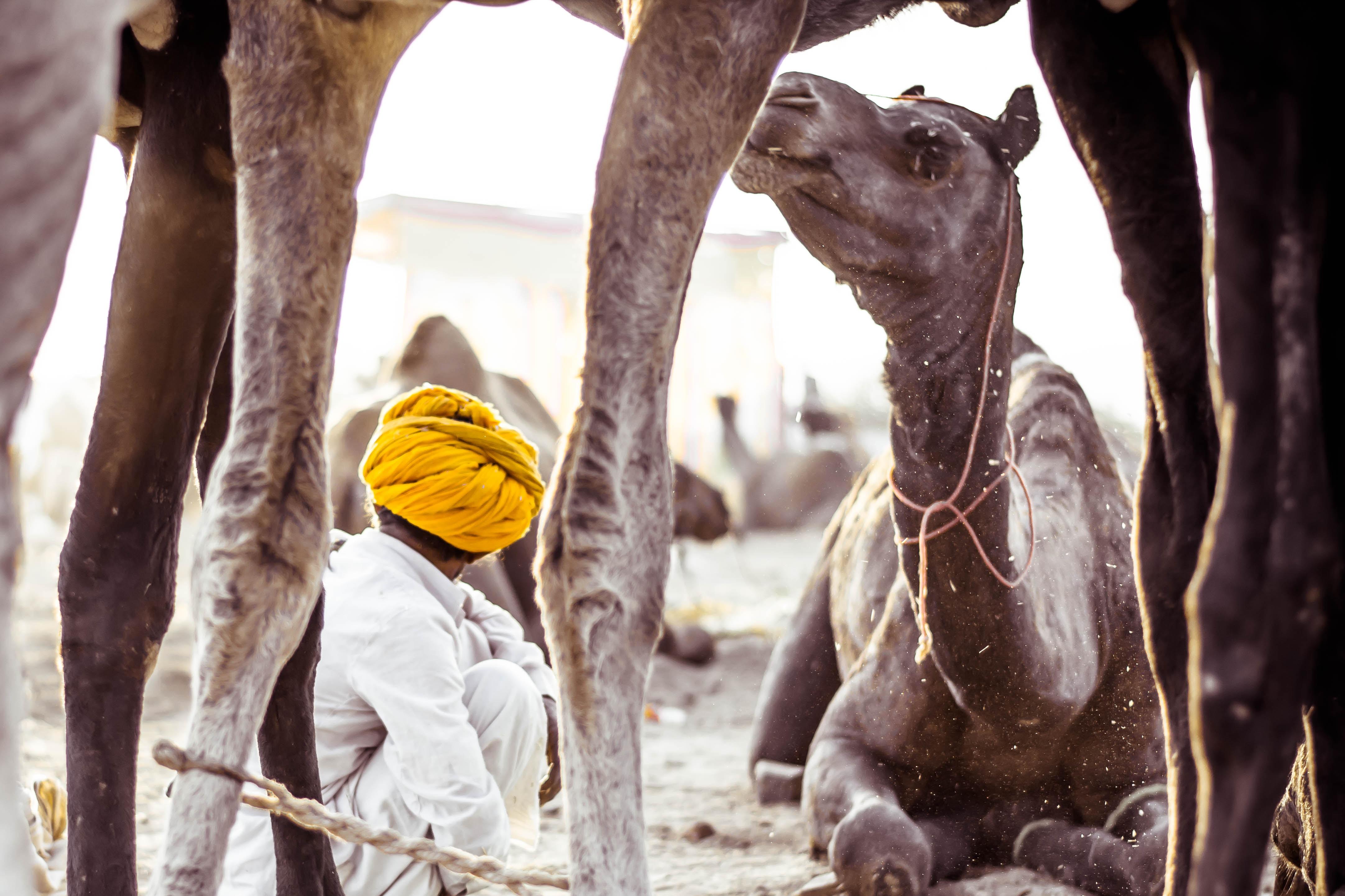 Kamele Rajasthan
