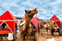 pushkar camel fair - rajasthan
