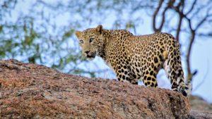 Leoparden indien rajasthan