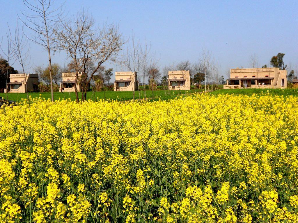 Homestay in Punjab fields