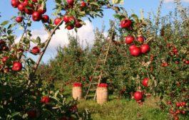 Apple Orchards, Himachal Pradesh