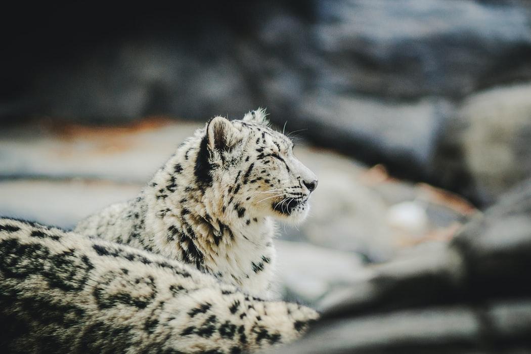 Snow leopard at Hemis National Park, Ladakh